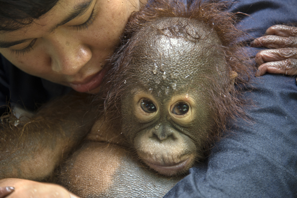 Bornean Orangutan, Pongo pygmaeus, Caretaker with infant at bath time, Orangutan Care Center, Borneo, Indonesia *Model release available