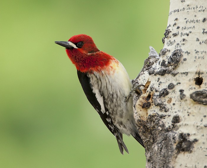 Red-breasted Sapsucker (Sphyrapicus ruber), clinging to aspen trunk, Mono Lake Basin, California, USA.