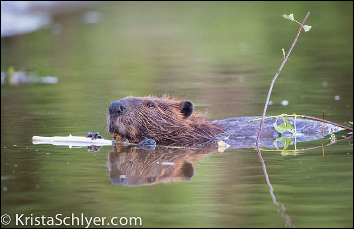 Beaver swimming in the Anacostia River.