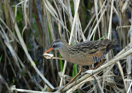 Virginia Rail 05152014 Blackwater NWR MD (c) Jim Clark