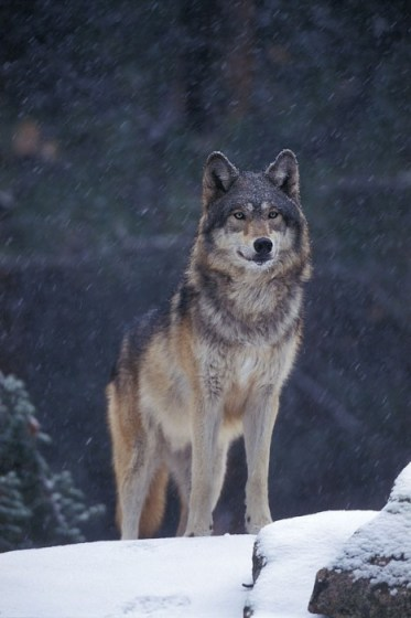 (Canis lupus) captive animal; Kalispell, Montana (c) Weldon Lee