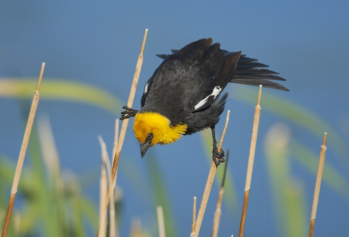 Yellow-headed Blackbird (Xanthocephalus xanthocephalus) male displaying, Mono Lake Basin, California, USA Photoshot