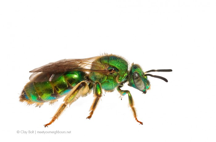 Metallic Green Bee (Augochloropsis metallica) visits a Black-eye