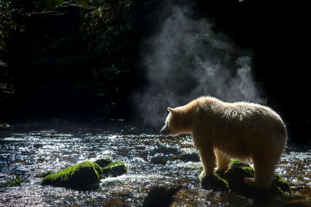 Spirit bears (also known as Kermode bears) are an exceedingly rare sub-species of American black bear with a recessive genetic trait that makes their fur white. There are perhaps only 200 to 400 in existence and they are found only in British Columbia's Great Bear Rainforest. © Tim Irvin