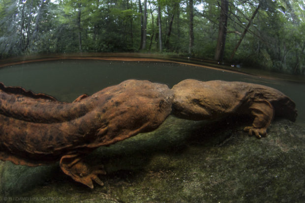 Two large male hellbenders lock jaws and battle over the right to guard a nesting rock in a Southern Appalachian headwater stream. These declining river giants are crucial to the health of these ancient river systems and there presence alone is often a great indication of watershed health. 2014 Philip Hyde Grant recipient © David Herasimtschuk