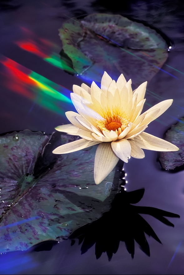 Water lily with Cokin diffractor filter effect.