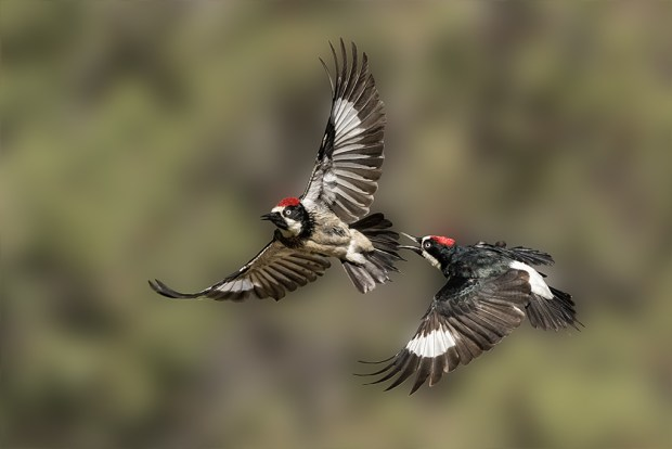 "Showcase 2018 Top 100 winner: ""Acorn Woodpeckers, fighting, Tucson, Arizona"" © William Pohley"