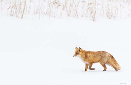 Ezo red fox on patrol, Eastern Hokkaido, Japan.