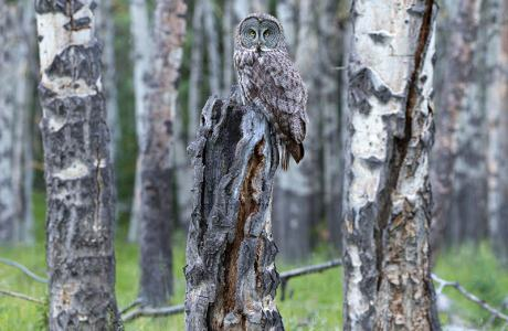 Owl on alert in the forest.