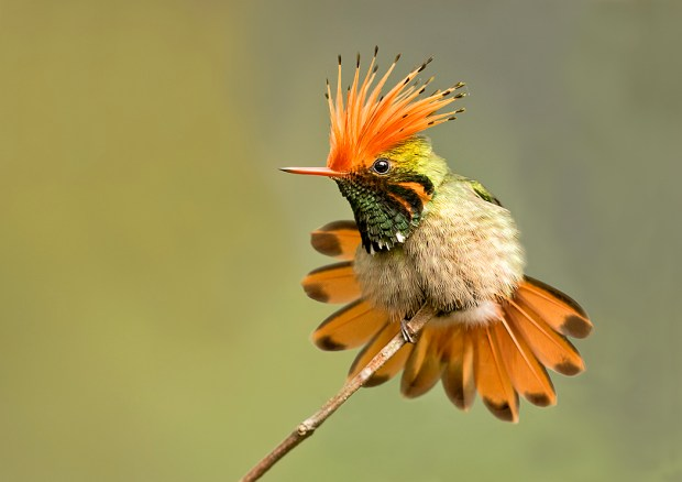 "Showcase 2019 Top 100 winner: ""Rufous-crested Coquette Defending Its Perch, Moyobamba, Arena Blanco, Peru"" © William Pohley."