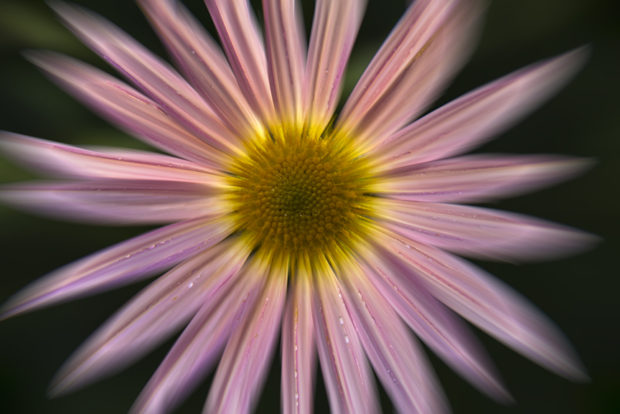 Leading lines draw attention to the center of this chrysanthemum. (Blur effect created by Radial Blur filter.)