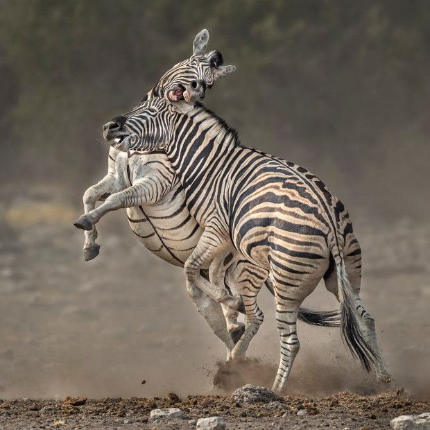 "Showcase 2019 Top 100 winner: ""Plains Zebras Fighting, Etosha National Park, Namibia"" © Carol Grenier."