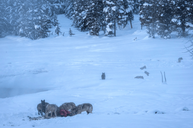 Younger wolves feeding on a carcass. Older wolves walk off in the distance.