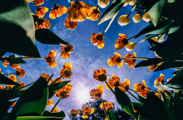 Looking up through a tulip bed. New York Botanical Garden, Bronx, NY. (Digitized from film.)