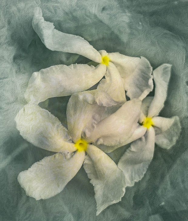 Showcase 2019 Altered Reality, Judges' Choice: Flowers Barbados – Tabernaemontana divaricata , Pinwheel Flower © Arabella Dane.