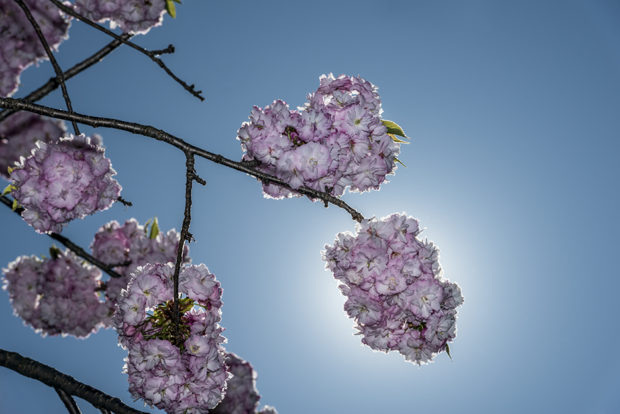 Sun behind individual cherry blossom.