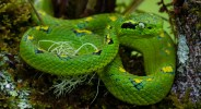 """Rax Bolay means """"Green Viper"""" in the indigenous language Q'eqchi. The common name for the snake is Yellow-Blotched Palm Pit Viper. It is a highly endemic species to the area. © Riley Swartzendruber."""