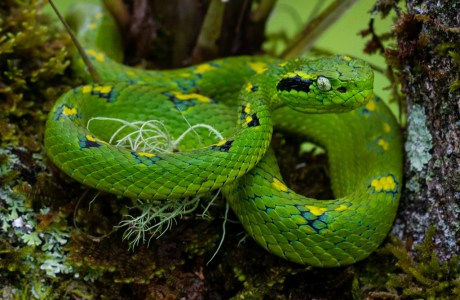 "Rax Bolay means ""Green Viper"" in the indigenous language Q'eqchi. The common name for the snake is Yellow-Blotched Palm Pit Viper. It is a highly endemic species to the area. © Riley Swartzendruber."