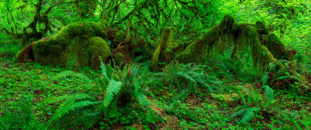 Vibrant green moss and foliage in the Hoh Rainforest.