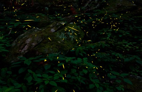 Showcase 2019: Judges' Choice, Macro/Micro/All Other: Synchronous Fireflies, Great Smoky Mountains National Park, Tennessee © Mark Hoyle.