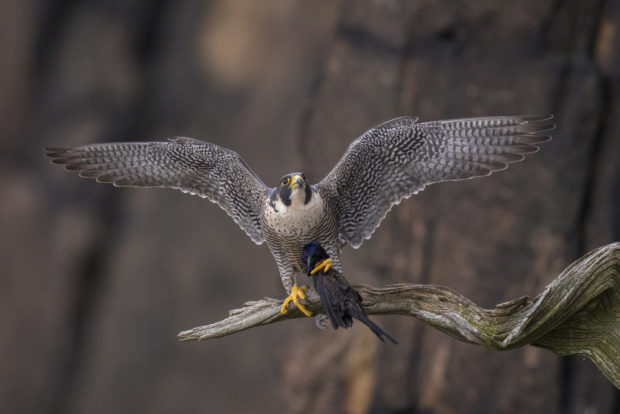 "Showcase 2019 Top 100 winner: ""Peregrine Falcon With Its Prey Perched Cliffside,"" Alpine, New Jersey, © Scott Dere."