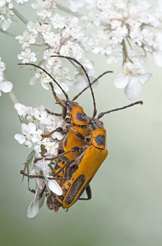 "Showcase 2019 Top 100 winner: ""Goldenrod Soldier Beetles,"" Owosso, Michigan © James Zablotny."