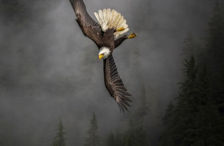 "Showcase 2019 Top 100 winner: ""Bald Eagle,"" Birds © Mollie Isaacs."