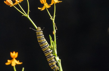 Monarch caterpillar. Monarch butterfly numbers have been declining at an alarming rate. A meadow planted with milkweed, a favorite of Monarchs, helps provide suitable habitat for the annual migration of these majestic butterflies. Several citizen science projects encourage people to help track the migration, reduce pesticide use and plant butterfly-friendly flowers and other vegetation.