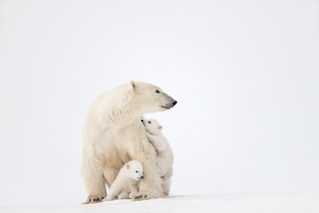 Showcase 2019 Top 100 winner: Cubs Play While Protected by Their Mother, Wapusk National Park, Manitoba, Canada. © Steven Barger.