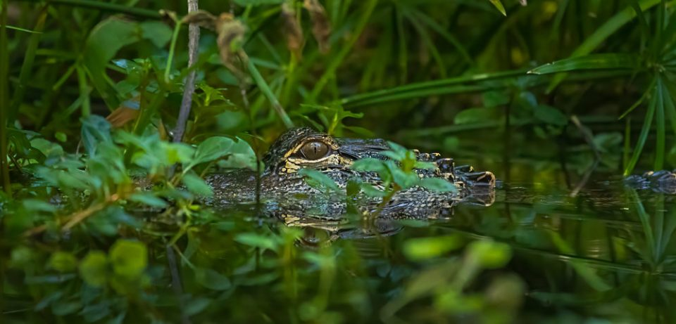 American alligator hiding in the vegetation on the Silver River in Florida.