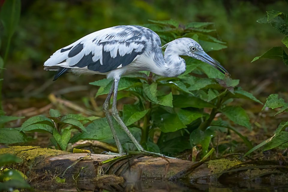 Immature little blue heron (Egretta caerulea) feeding on the Silver River in Florida.