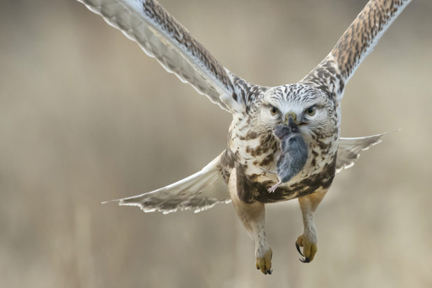 Showcase 2019, Best in Show, Birds: Rough-legged Hawk in Flight with Catch © David Armer.