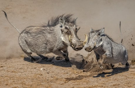 "Showcase 2019 Top 100 winner: ""Warthog Chase, Etosha National Park, Namibia"" © Patrick Pevey."