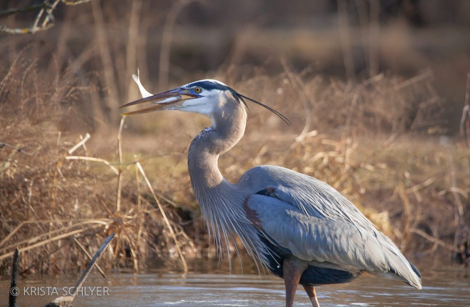 Great blue heron fishing in Kenilworth Aquatic Gardens, Washington DC, 2012.