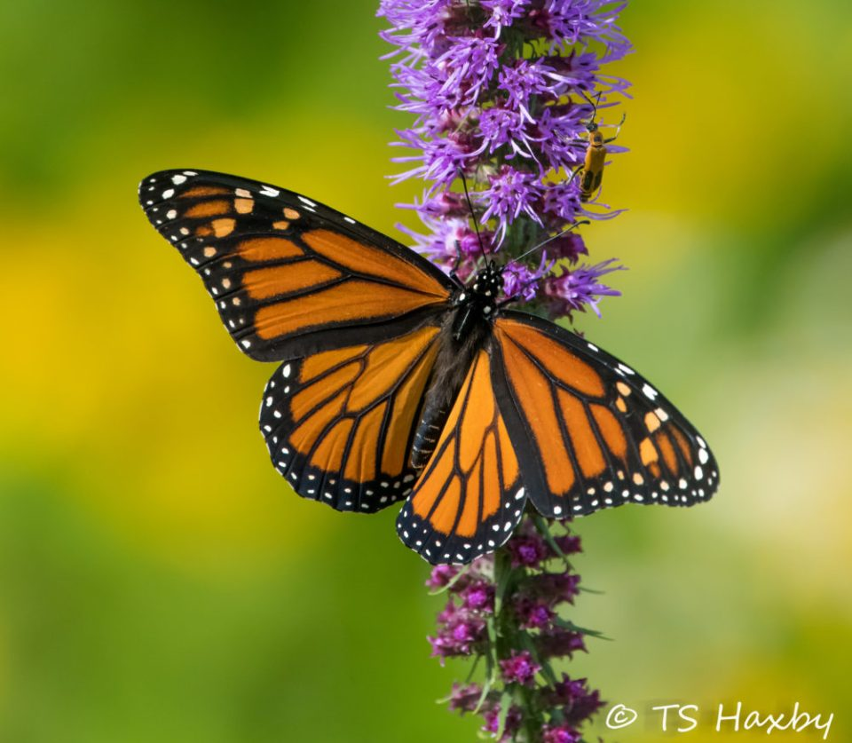 Loss of habitat is one of the major causes for the decline in Monarch butterfly numbers.