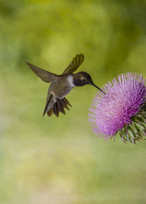 Black-chinned hummingbird, Block Creek Natural Area, Texas Hill Country, Spring