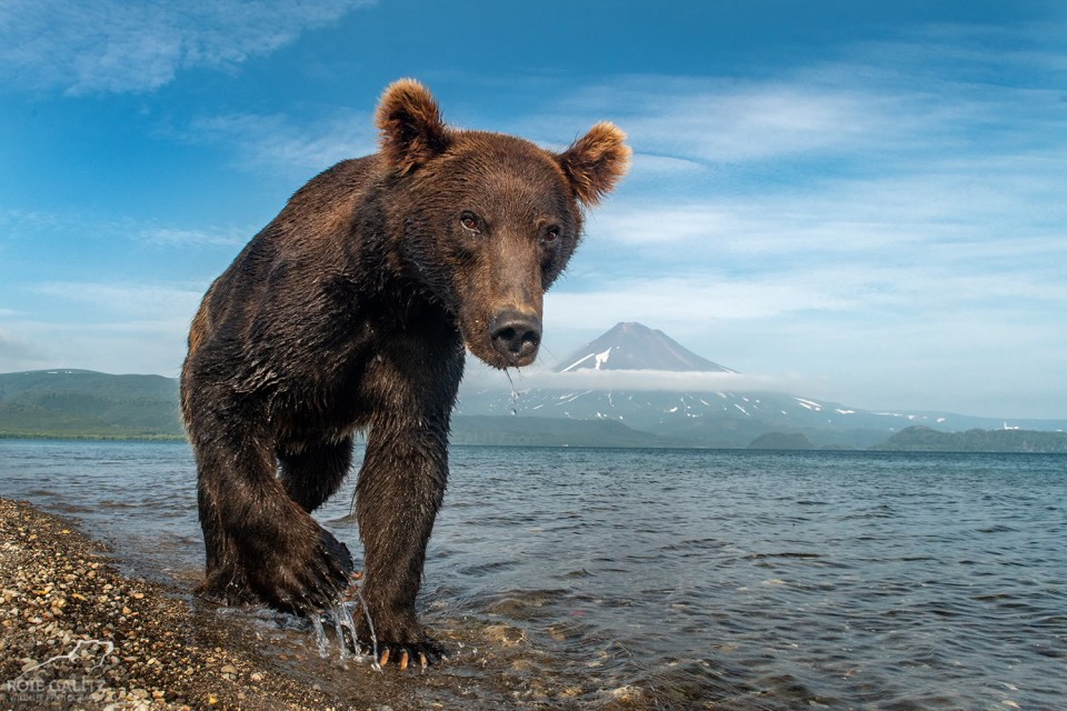 Photo of a curious bear approaching the camera. © Roie Galitz