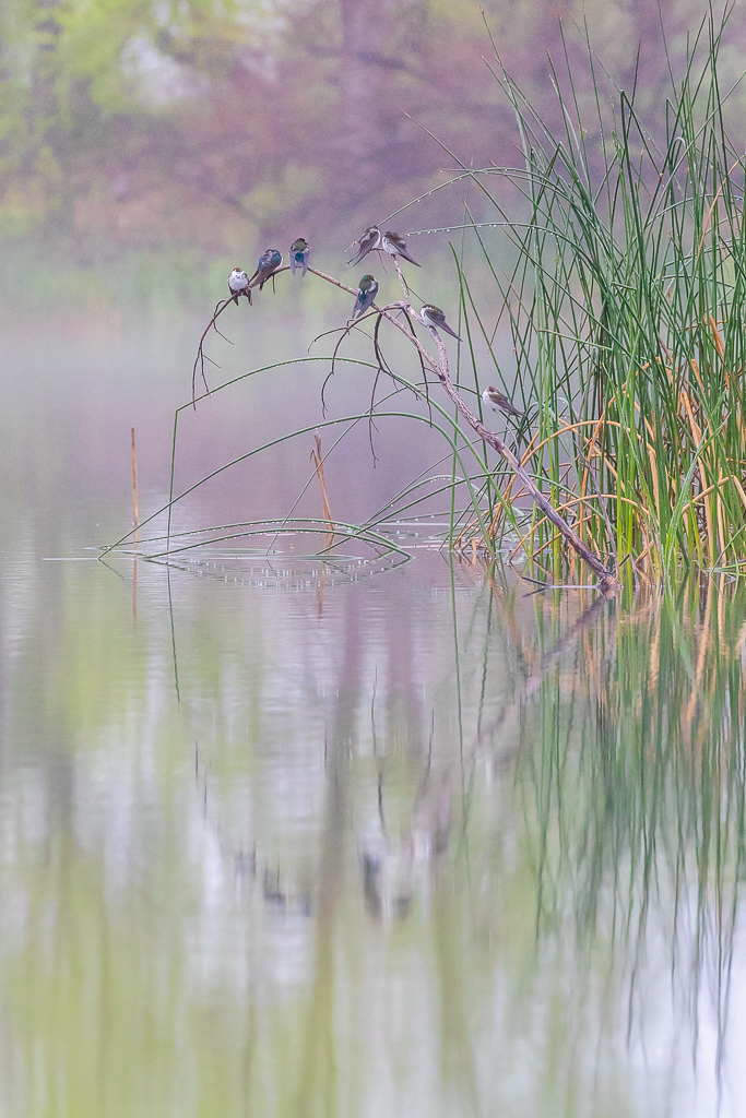 "Showcase 2019 Top 100 winner: ""Violet-green Swallows Rest in the Early Dawn Mist, Boulder, Colorado"" © Matthew Morrissette."