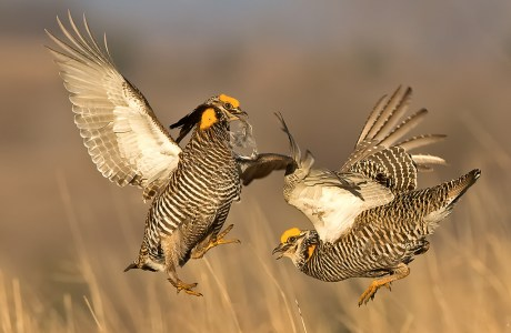 "Showcase 2019 Top 100 winner: "" Prairie Chicken Fight, Burchard, Nebraska"" © William Pohley."