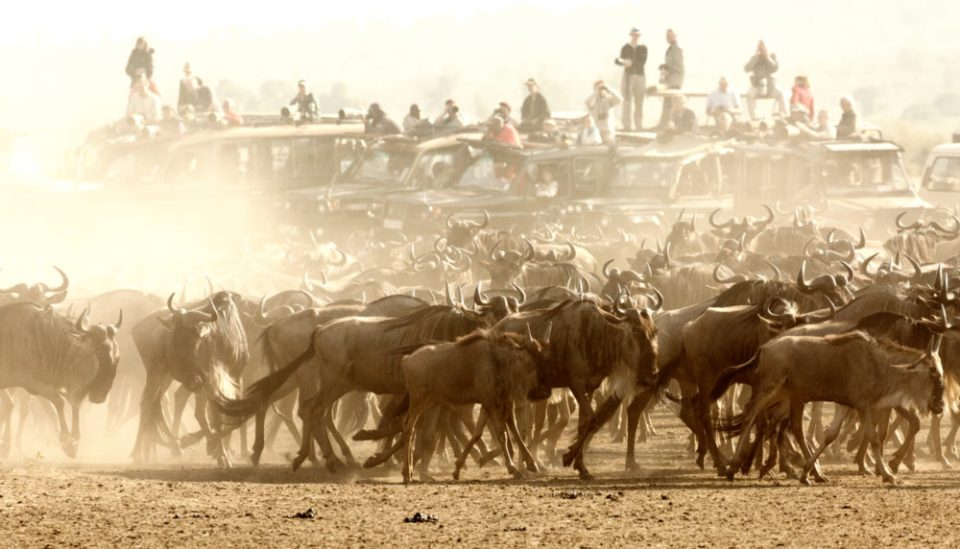 Wildebeest gather at the edge of the Talek River in the Mara as vehicles jockey for position to view a crossing.