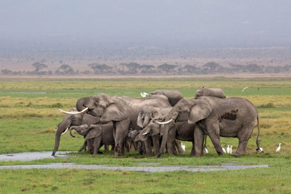 An elephant herd clusters together as they drink from the marsh waters in Amboseli National Park, Kenya