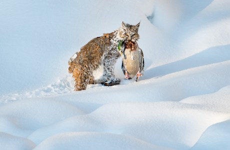 "Showcase 2019 Top 100 winner: ""Winter Bobcat With Drake Mallard, Yellowstone National Park, Wyoming"" © Cindy Goeddel Photography, LLC."