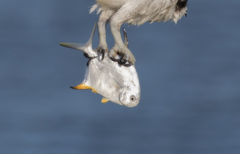 "Showcase 2019 Top 100 winner: "" I Wanted to Show the Way an Osprey Carries a Fish, Fort Myers Beach, Florida"" © Sankha Hota."