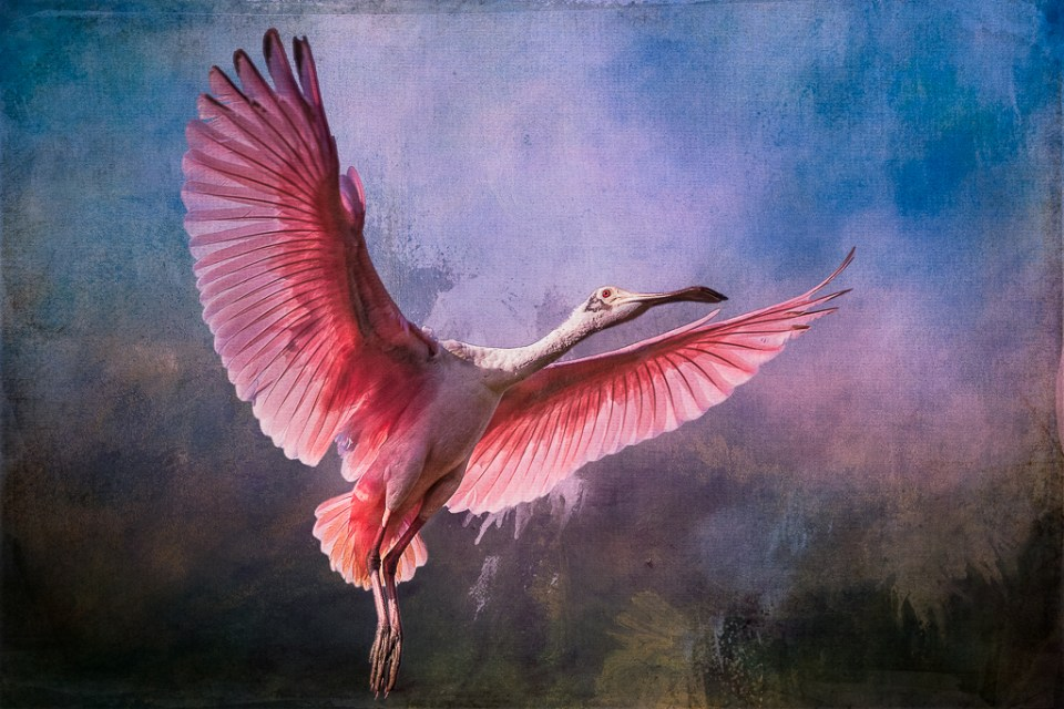 "Showcase 2019 Top 100 winner: "" Roseate Spoonbill, Alligator Farm, Saint Augustine, Florida "" © Dave Hattori."
