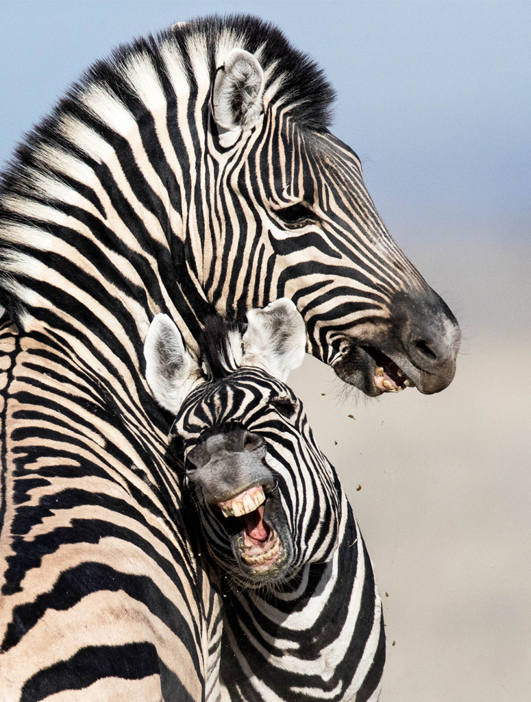 "Showcase 2019 Top 100 winner: "" Burchell's Zebras Horsing Around, Etosha National Park, Namibia "" © Karen Hunt."