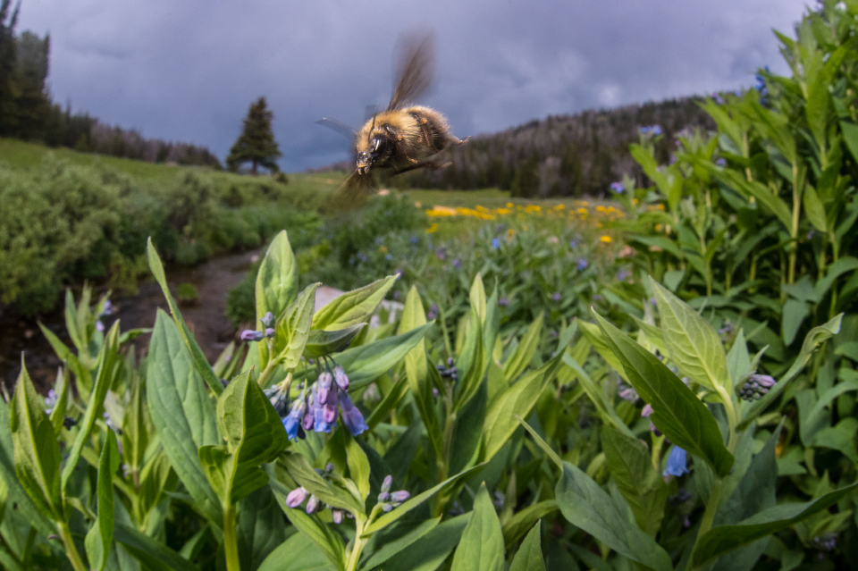 photo of a bee hovering over a flower © Clay Bolt