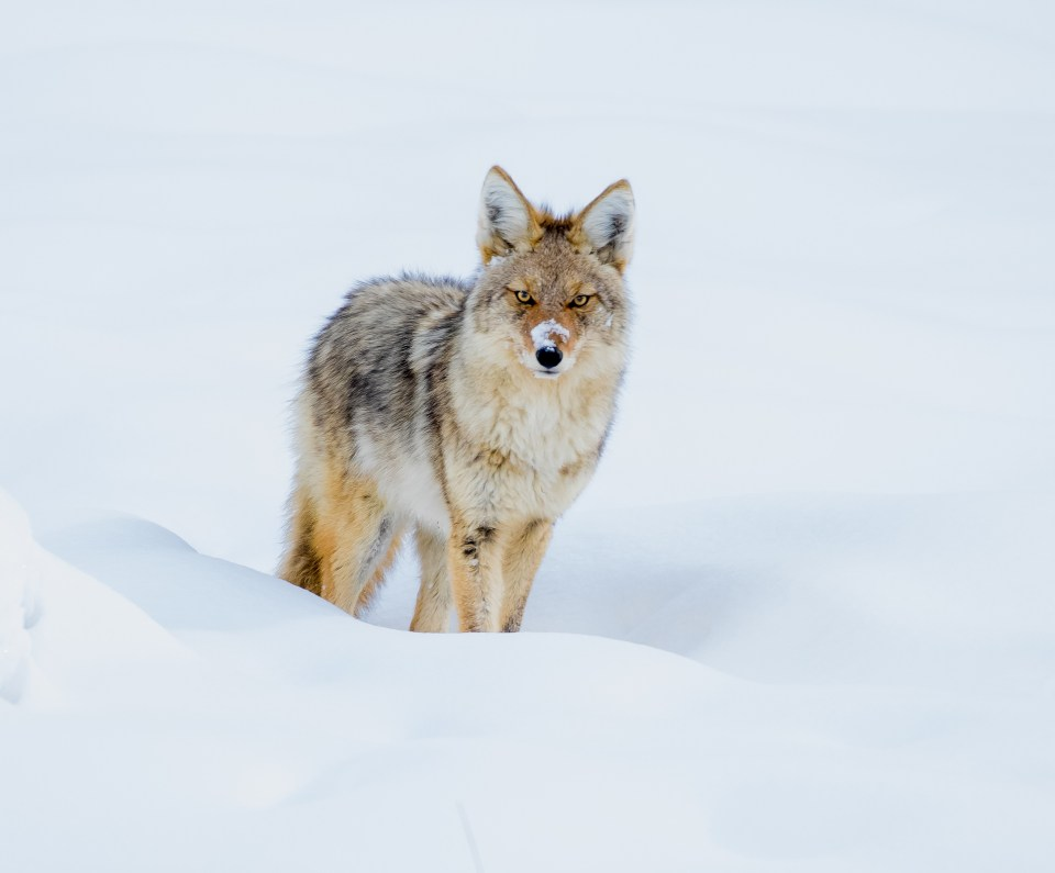 Yellowstone coyote in snow. © Deborah Roy.
