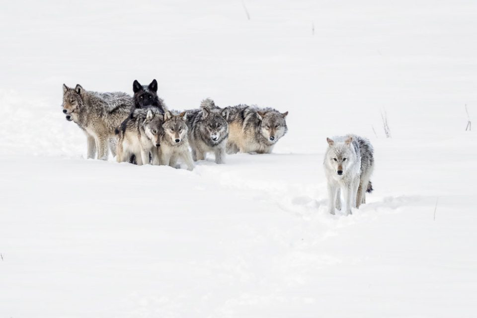 "Wolves walking through snow. Showcase 2020, Best in Show, Mammals: ""Yellowstone Wolf Pack"" © Patrick Pevey."