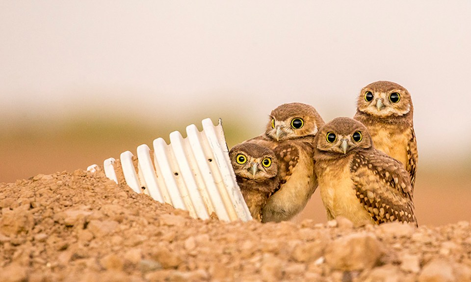 "Showcase 2020 Top 100 winner: ""Western Burrowing Owlets, Sonny Bono Salton Sea National Wildlife Refuge, California,"" © Melissa Usrey."