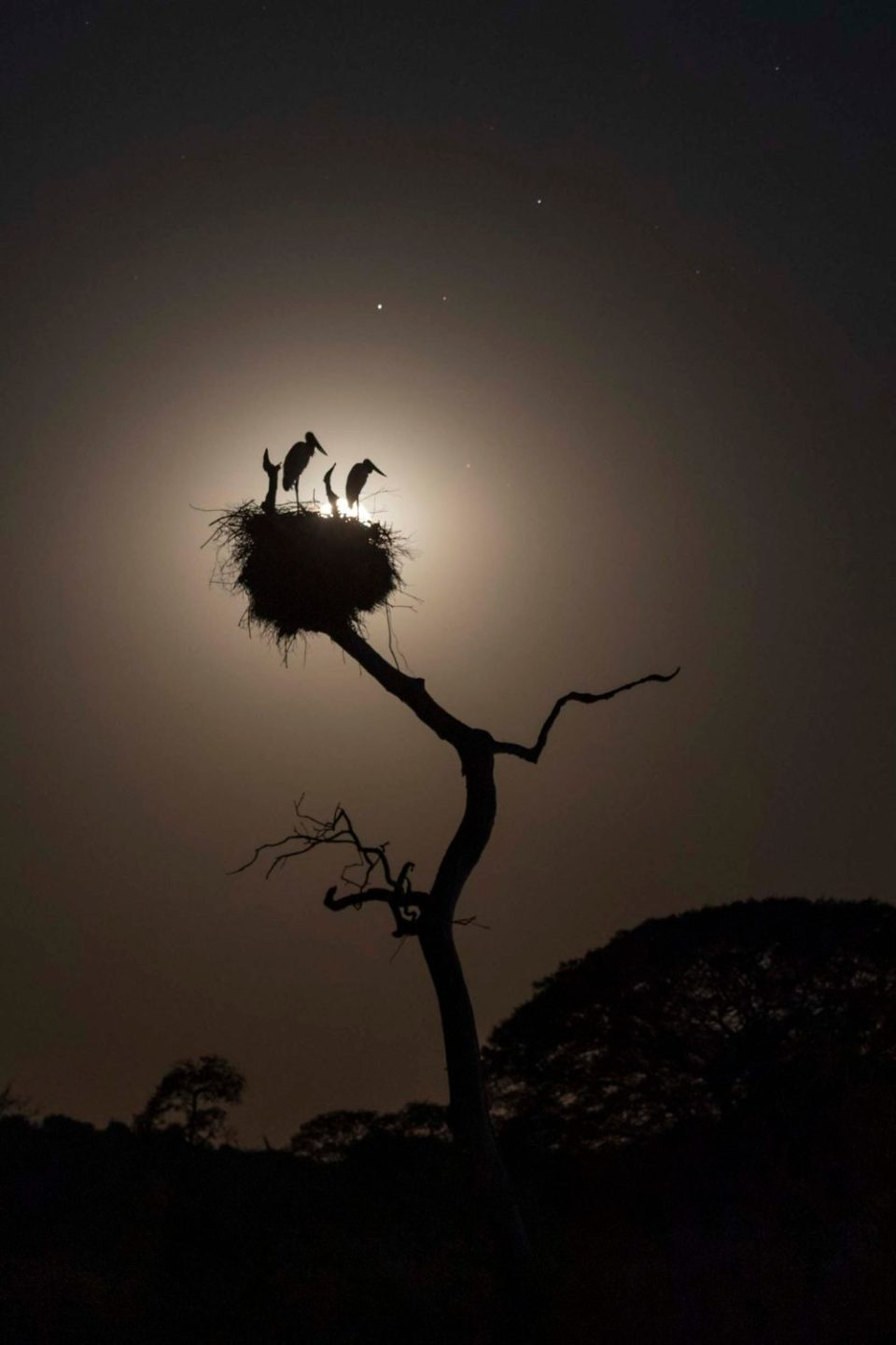 "Showcase 2020 Top 100 winner: ""Moonlit Jabiru Stork  Nest, Pantanal, Brazil"" © Greg L. Cook."